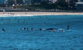 whale surface at bondi